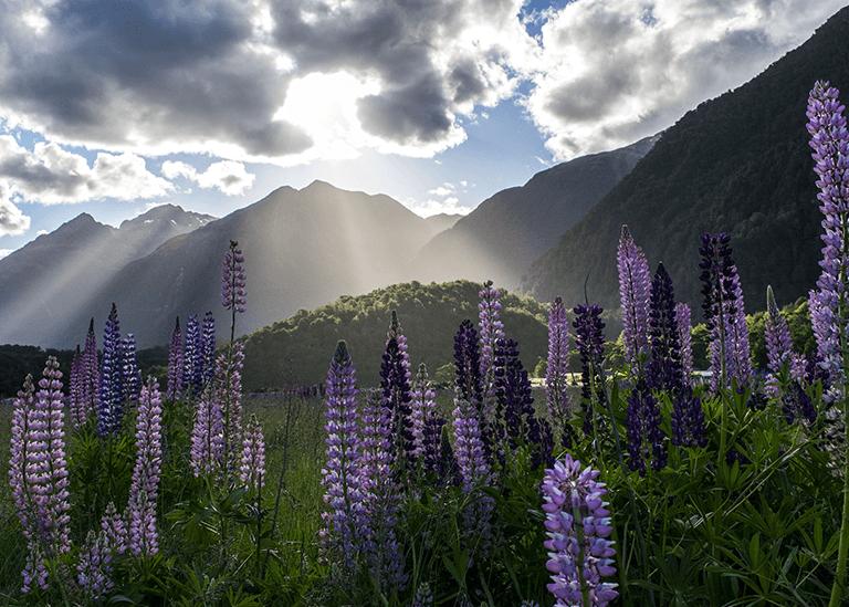 Fleurs Nouvelle Zélande